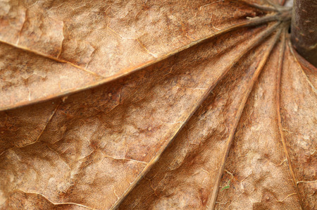 Dry maple leaf.Lying on the ground from last autumn. Stock Photo