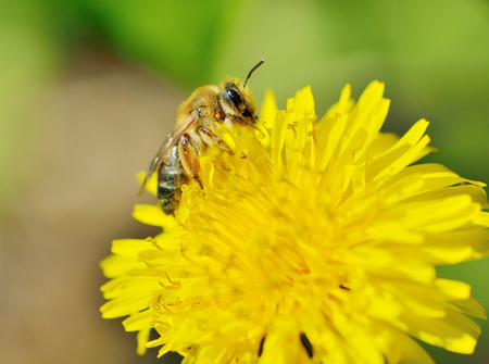 A bee collects pollen from a dandelion.With warming the life of insects became more active. Stock Photo