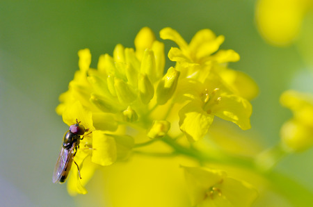 Flowering plants in the spring. Insect collects nectar and pollen from flower petals.