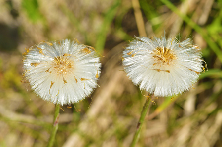 Faded dandelions in late spring. They turn into white, round flowers.