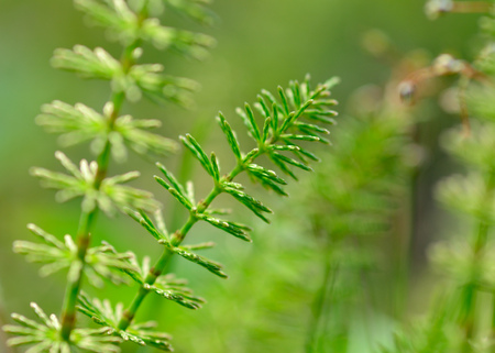 Wild meadow horsetail.Its a herbaceous plant. It is used in medicine.