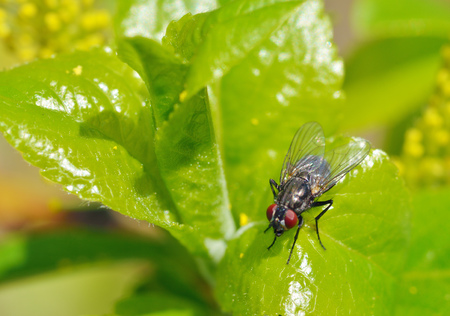 The fly sits on a green sheet and drinks the morning dew drops.