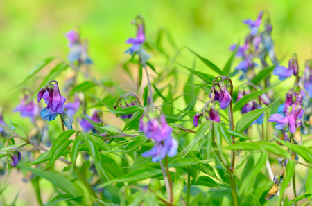 Lthyrus vrnus-herbaceous plant. It is used as a fodder plant for cattle. Stock Photo