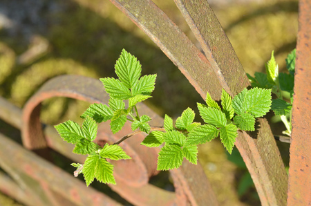 A young sprig of raspberries.She grew up in the spring on the background of an iron fence.