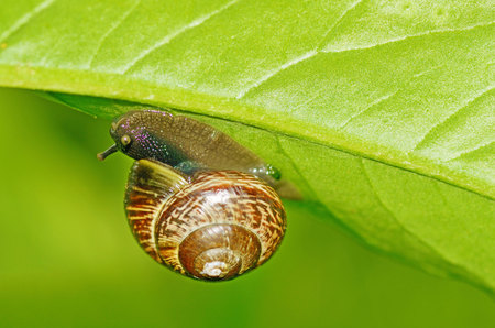 Snail sitting on a leaf of the plant.She eats the young shoots of leaves.