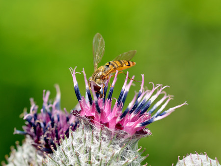 German wasp collects pollen from plants.With warming the life of insects became more active.