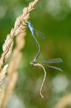 Pairing dragonflies in nature. One of the stages of reproduction of insects.