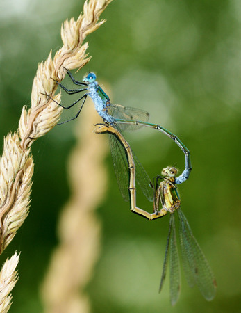 Pairing dragonflies in nature.One of the stages of reproduction of insects.