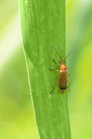 Beetle crawling on a stalk of grass .Insects are very active during the day.