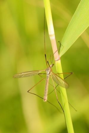 Big mosquito crawling in the grass.He has very long legs .Theyre called caramora.