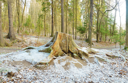 Old rotten stump, left of a felled tree.