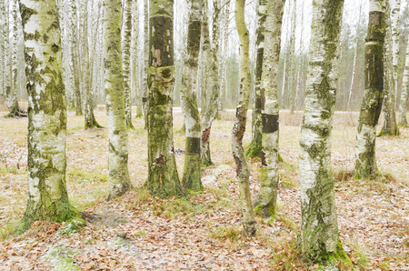 Birch grove in winter.The bark of the trees has a black and white color.