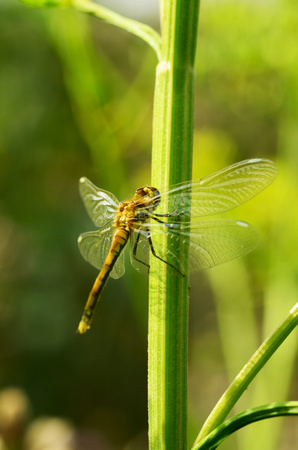 Dragonfly is an insect living near water bodies.These are active predators that feed on insects. 免版税图像