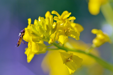 Flowering plants in the spring.insect collects nectar and pollen from flower petals.