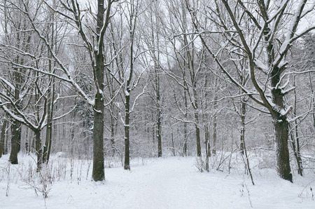 Snowy winter in the forest.On the branches of trees is snow.