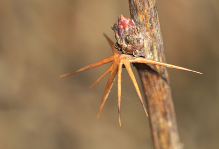 Branch with barberry thorn.The needles of the plant are very sharp. Stock Photo