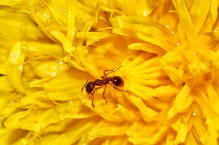 The ant collects the pollen of a dandelion.
