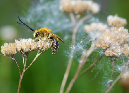 Bumblebee wakes up from a night's sleep.His hair is wet and covered with dew.