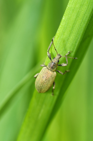 A small beetle sits on a leaf of the plant.It is the macrocosm of nature.In Latin the name of the beetle - Eusomus ovulum Germar Stock Photo