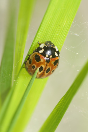 Ladybug on the plant flower She has red wings with black spots