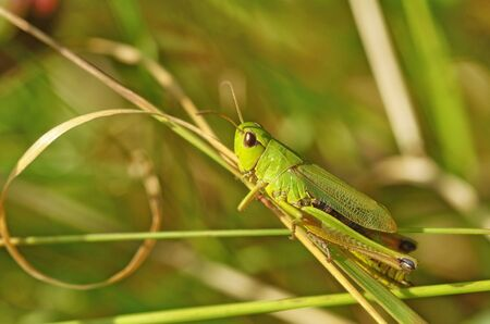 grasshopper sits in the grass.The insect is invisible among the plants.