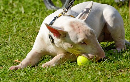 White Bull Terrier is a sporting breed of dog.It was bred in England as a fighting breed.