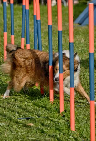 Training dogs for agility and speed overcoming obstacles.