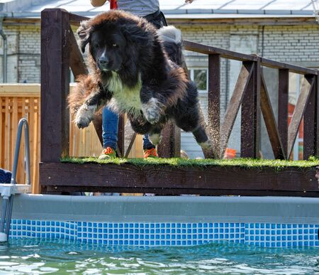 The dog jumps into the pool of water.A dog handler teaches an animal not to be afraid of wate.This is how service dogs are prepared. Reklamní fotografie