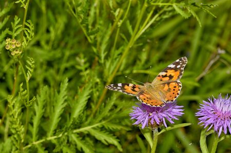 In the meadow grow various wild flowers.Butterfly drinks nectar from a flower. Reklamní fotografie