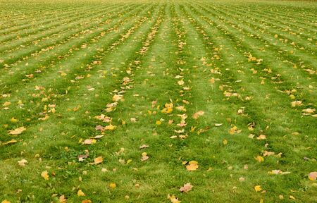 Autumn time. Grassy lawn covered with yellow leaves.