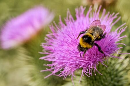A bumblebee collects nectar from a flower.With warming the life of insects became more active.