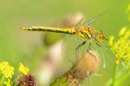 Dragonfly sitting on the stem of the plant.This insect lives near water bodies. Reklamní fotografie - 135330437