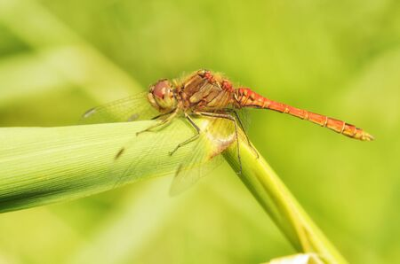 Dragonfly sitting on the stem of the plant.This insect lives near water bodies. Reklamní fotografie - 135440033