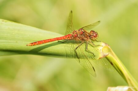 Dragonfly sitting on the stem of the plant.This insect lives near water bodies. Reklamní fotografie - 135440301
