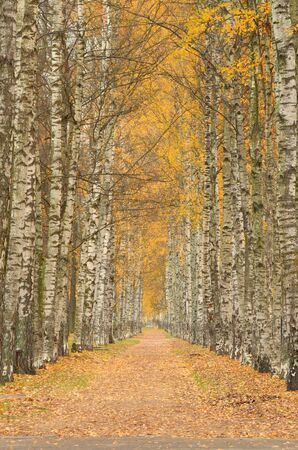 Alley of white birches.Looks especially beautiful alley in the fall. Reklamní fotografie - 135440069