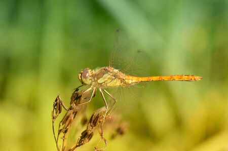 Dragonfly sitting on the stem of the plant.This insect lives near water bodies. Reklamní fotografie - 135440188