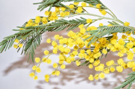 Mimosa or acacia silver.Its flowers are yellow.Growing this plant in southern latitudes.