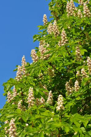Chestnut blossom in spring.Beautiful shoots grow on a tree.