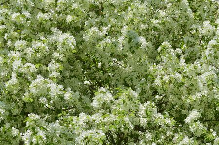 Apple trees bloom in the garden.Flowers with white petals grow on the branches.