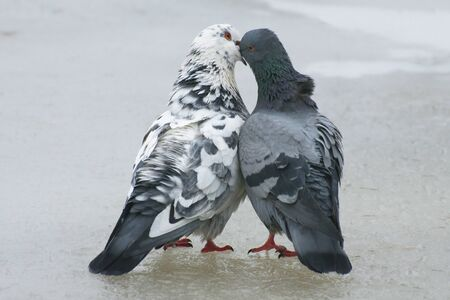 At the end of March the pigeons find their mates and stay together for a long time.