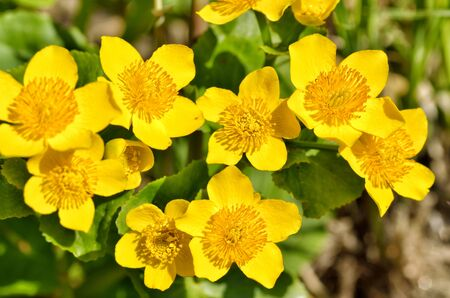 Caltha palustris-marsh plant with yellow petals.Spring blooms brightly.