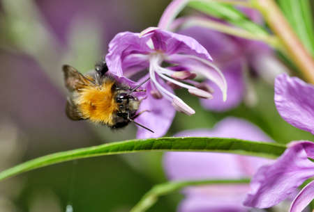 Bumblebee collects nectar from flowers The insect is very active in summer.