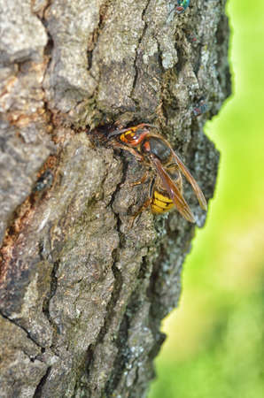 The wasp sits on the bark of a tree. She gnaws the bark and then makes a nest out of it.