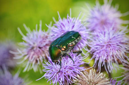 The green beetle collects pollen from the flower.The beetle is called Golden bronze.