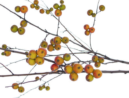 In late autumn, ripe apples hang on a branch.