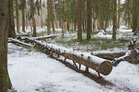 Winter landscape in the forest. Snow lies on tree branches.