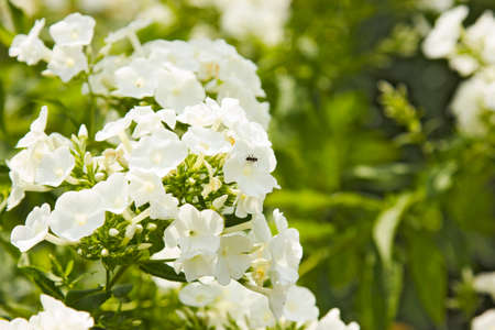 White flowers on blurred background with insects photo