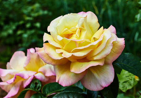 gloria: Flower Rose Gloria Dei yellow flowers in the garden with a blurred . Stock Photo