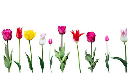 Spring tulip flowers in a row isolated on white different varieties spring tulip flowers in a row isolated on white different varieties of flowers stock mightylinksfo