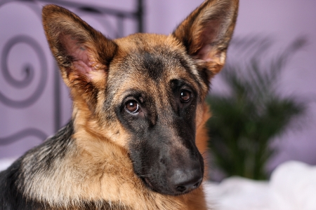 young German Shepherd at home